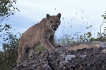 cougar-alert_313-311