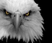 angry-eagle2