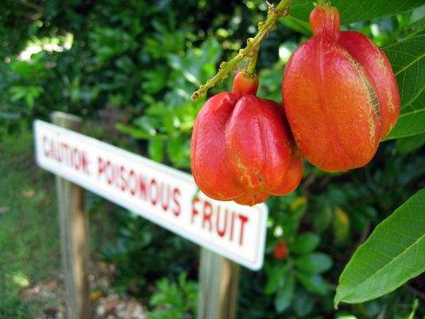 poisonous fruit