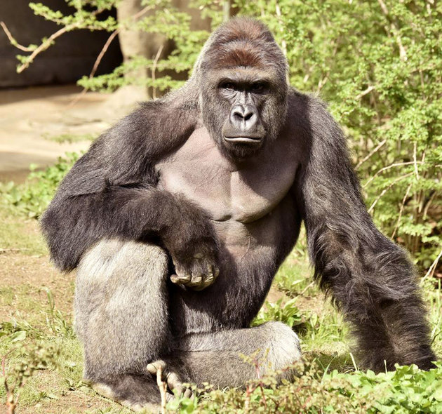 Harambe, a 17-year-old gorilla at the Cincinnati Zoo is pictured in this undated handout photo provided by Cincinnati Zoo. REUTERS/Cincinnati Zoo/Handout via ReutersATTENTION EDITORS - THIS PICTURE WAS PROVIDED BY A THIRD PARTY. REUTERS IS UNABLE TO INDEPENDENTLY VERIFY THE AUTHENTICITY, CONTENT, LOCATION OR DATE OF THIS IMAGE. THIS PICTURE IS DISTRIBUTED EXACTLY AS RECEIVED BY REUTERS, AS A SERVICE TO CLIENTS. FOR EDITORIAL USE ONLY. NO RESALES. NO ARCHIVES.